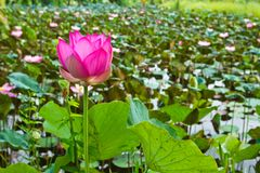Pink lotus in the pond Royalty Free Stock Images