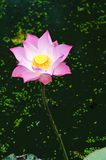 Pink lotus in the pond. Royalty Free Stock Photography