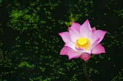 Pink lotus in the pond. Stock Images