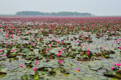 Pink lotus in the pond Stock Image
