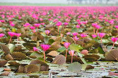 Pink lotus in the pond Royalty Free Stock Image