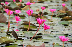 Pink lotus in the pond Stock Photos