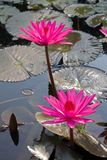 Pink lotus in the pond Stock Photography