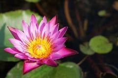Pink lotus. Royalty Free Stock Photos