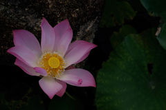 Pink lotus. In the pond Royalty Free Stock Photos