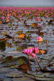 Pink lotus in the pond. Stock Image