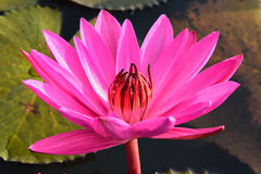 Pink lotus in the pond. Stock Photography