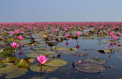 Pink lotus pond. Pink lotus in big pond and the lotus flower is a million at Kumpawapee,Udornthani, Thailand Stock Images