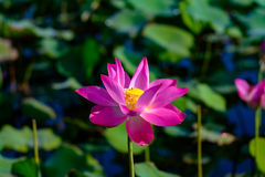 Pink Lotus in Pond. Close focus of a pink lotus flower in pond Royalty Free Stock Image