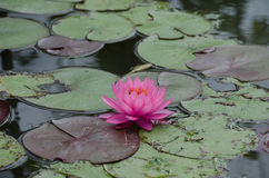 Pink lotus in the pond in cloudy day royalty free stock photo