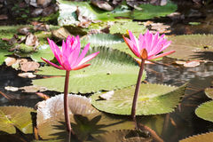 Pink lotus in pond. Royalty Free Stock Photography