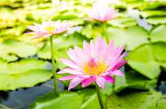 Pink lotus on the pond Stock Images