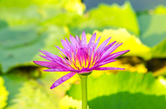Pink lotus  on the pond Stock Photo