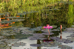 Pink lotus in a pond Royalty Free Stock Image