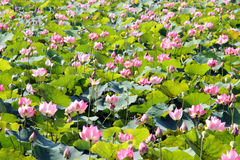 pink lotus on pond Royalty Free Stock Photography