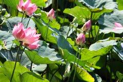 pink lotus on pond Stock Photos