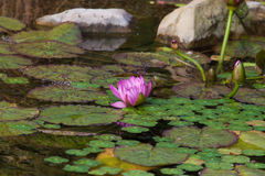 Pink Lotus in Pond Stock Photography