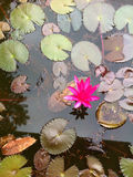 Pink Lotus in Pond. A Lone Lotus Flower in a pond among leaves Royalty Free Stock Photo