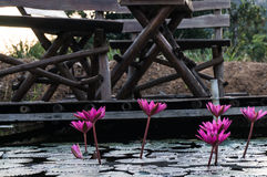 Pink lotus in a pond Royalty Free Stock Photos