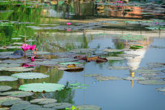 Pink lotus in a pond reflection and pagodas. Stock Images