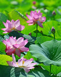Pink lotus on the pond Royalty Free Stock Photography