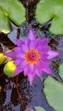 Pink Lotus in pond. Pink water lily lotus pond stock photos