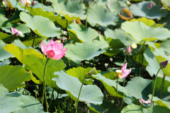 pink lotus on pond Stock Images