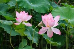 Pink lotus in pond Royalty Free Stock Images