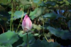 Pink lotus in pond Stock Photos