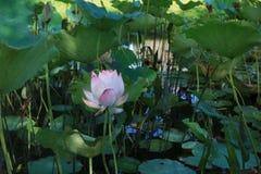 Pink lotus in pond royalty free stock image