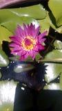 Pink lotus (2). Pink lotus in lotus ponds Stock Images