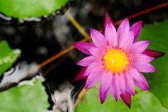 Pink lotus in pool Royalty Free Stock Photography