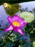 Pink lotus in pool and beautiful reflex. Royalty Free Stock Photography