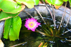 Pink lotus. On pool in the garden Royalty Free Stock Photos