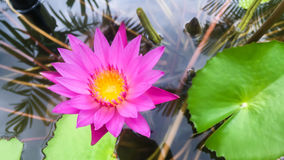 Pink Lotus in the pool Stock Photos