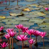 Pink Lotus in the pond stock images