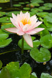 Pink lotus in pound. Royalty Free Stock Photography