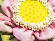 Pink lotus for pray buddha Stock Image