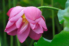 Pink Lotus in the rain Royalty Free Stock Images