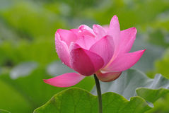 Pink Lotus in the rain Royalty Free Stock Photography
