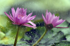Pink lotus in raining Royalty Free Stock Photo