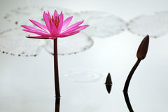 Pink lotus in raining in pond Stock Photos