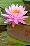 PInk Lotus on the River. Wonder pink lotus in Thailand garden Royalty Free Stock Photography