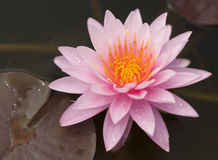 PInk Lotus on the River Stock Image