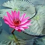 PInk Lotus on River Stock Image