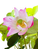 Pink lotus with seed and leaf isolated Royalty Free Stock Photo
