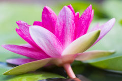 Pink lotus with shallow depth of field Stock Image