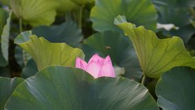 A pink lotus is sheltered by many leaves in pond. A pink lotus is among some leaves.It is sheltered by a green leaf.the flower like a shameful girl royalty free stock image
