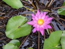 Pink lotus. Single pink lotus on pond royalty free stock image