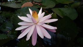 Pink Lotus in the small pond royalty free stock image
